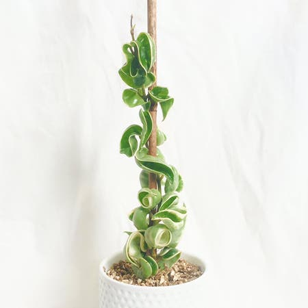 Photo of the plant species Variegated Hindu Rope Plant by Crazyfoliagegirl named Mr Curly on Greg, the plant care app