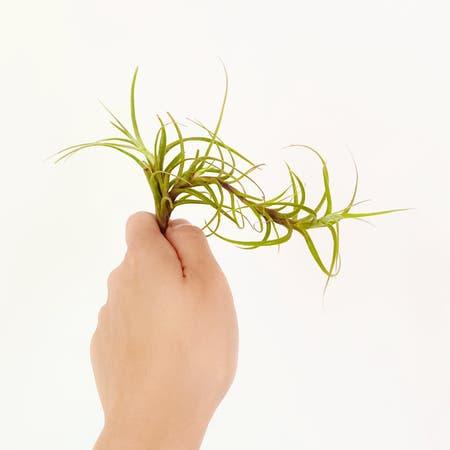 Photo of the plant species Tillandsia incarnata by Crazyfoliagegirl named Vanessa on Greg, the plant care app