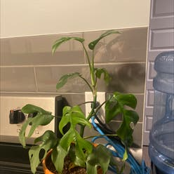 Mini Monstera plant