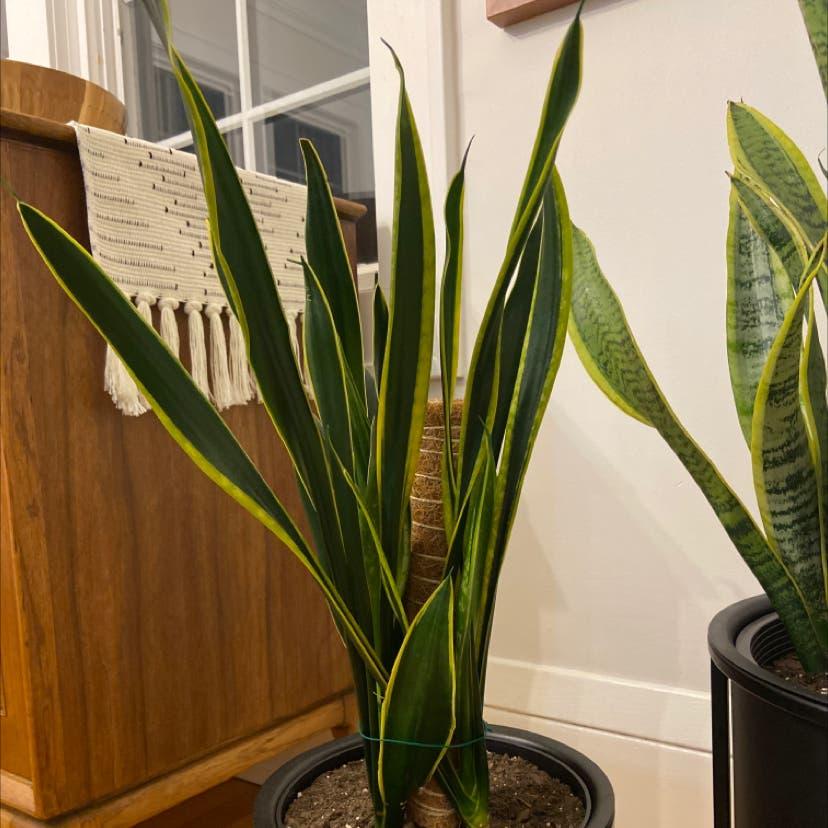 Snake Plant plant