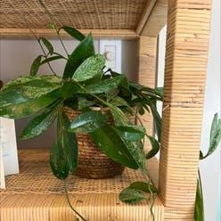 Waxplant plant