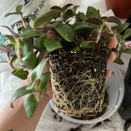 Photo of the plant species Spiderwort 'Hijau Baru' by Raquel named Medusa on Greg, the plant care app
