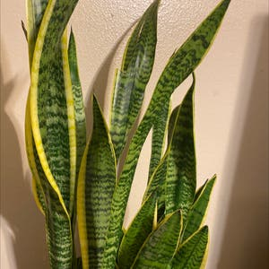 Snake Plant plant photo by Kimmiechi named Ziggy on Greg, the plant care app.