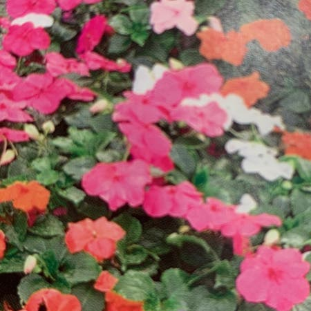 Photo of the plant species Impatiens Repens by Clar named inpatient on Greg, the plant care app