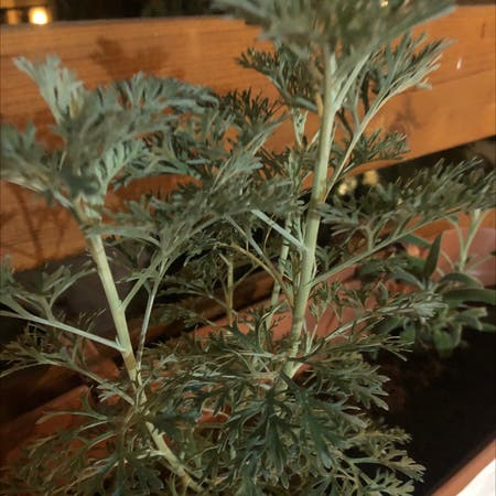 Photo of the plant species Absinth sagewort by K named Wormy on Greg, the plant care app