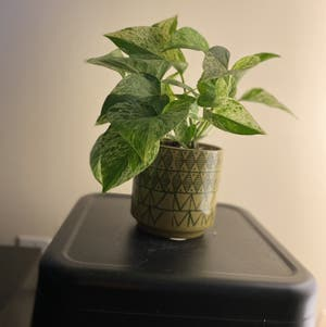 Golden Pothos plant photo by Ben named Tazza on Greg, the plant care app.