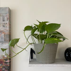 Golden Pothos plant photo by Lycheebrat named Ed on Greg, the plant care app.