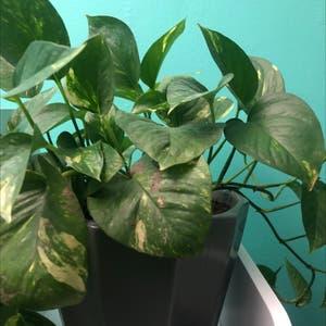 Golden Pothos plant photo by Jordan named Golden Pothos on Greg, the plant care app.