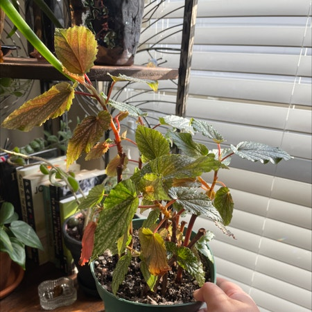 Photo of the plant species Cane Begonia by Aylha named Pink Panther on Greg, the plant care app