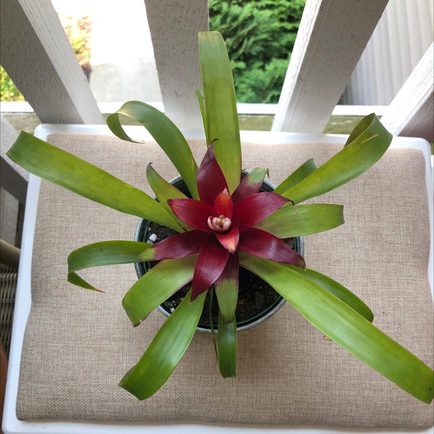 Blushing Bromeliad plant