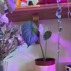 Alocasia 'Dragon Scale' plant