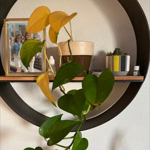 Golden Pothos plant photo by Kaleigh named Lola on Greg, the plant care app.