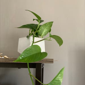 Golden Pothos plant photo by Marianag named Catherine on Greg, the plant care app.