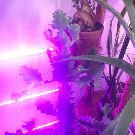 Photo of the plant species Ghost Cactus by Emmyanenome named Toxic by Britney Spears on Greg, the plant care app