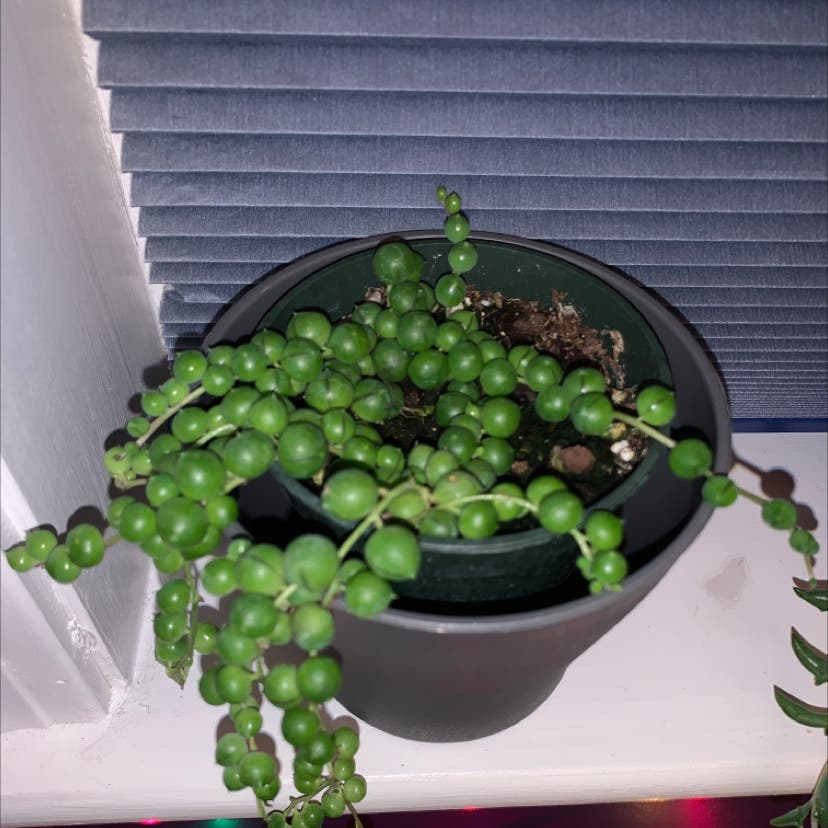Senecio String of Pearls plant