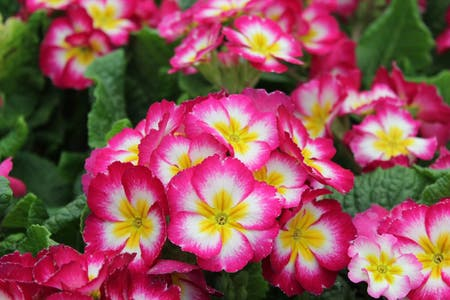 Photo of the plant species Primula by Jennifer named primrose on Greg, the plant care app