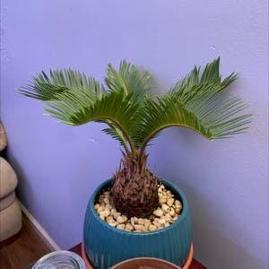 Sago Palm plant photo by Undomesticatedturtle named Nemo on Greg, the plant care app.