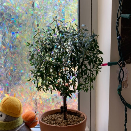 Photo of the plant species Common myrtle by Mxies_ named Bassy on Greg, the plant care app