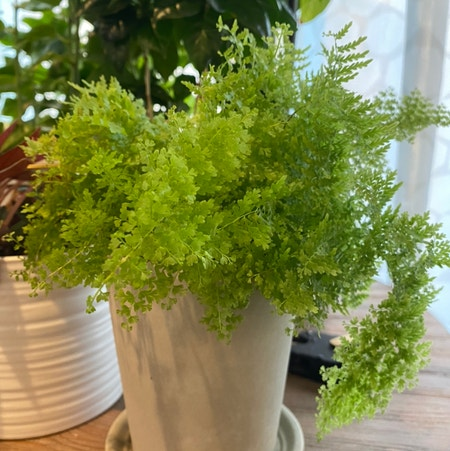 Photo of the plant species Cotton Candy Fern by Sparklepipsi named Fluffy on Greg, the plant care app