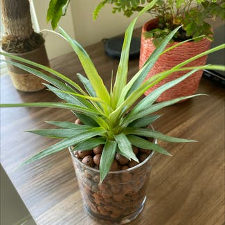 Pineapple plant in Virginia Beach, Virginia