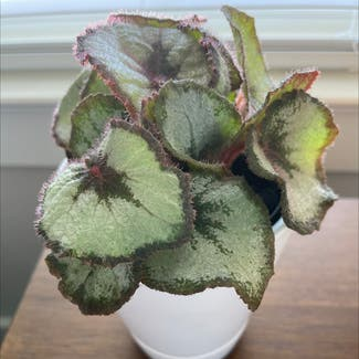 Rex Begonia plant in Virginia Beach, Virginia