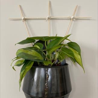 Philodendron 'Brasil' plant in Virginia Beach, Virginia