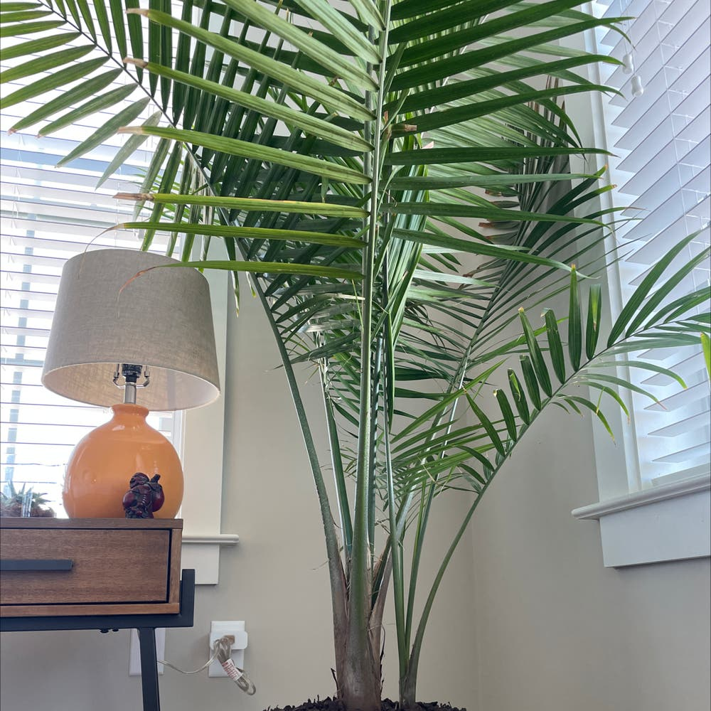 Photo of the plant species Majesty Palm by Justinkingtorres named Cleopatra on Greg, the plant care app
