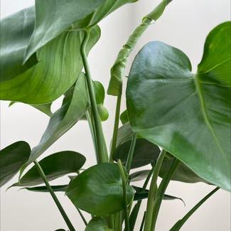 Monstera plant in Virginia Beach, Virginia