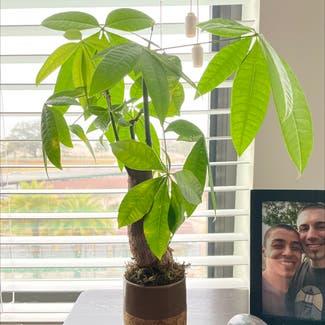 Money Tree plant in Virginia Beach, Virginia