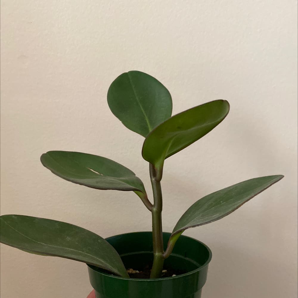 Photo of the plant species Peperomia Red Edge by Juniperjoon named Peperomia Potts on Greg, the plant care app