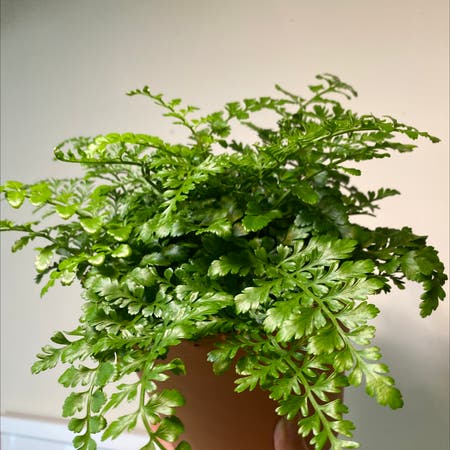 Photo of the plant species Mother Fern by Juniperjoon named Mothera on Greg, the plant care app