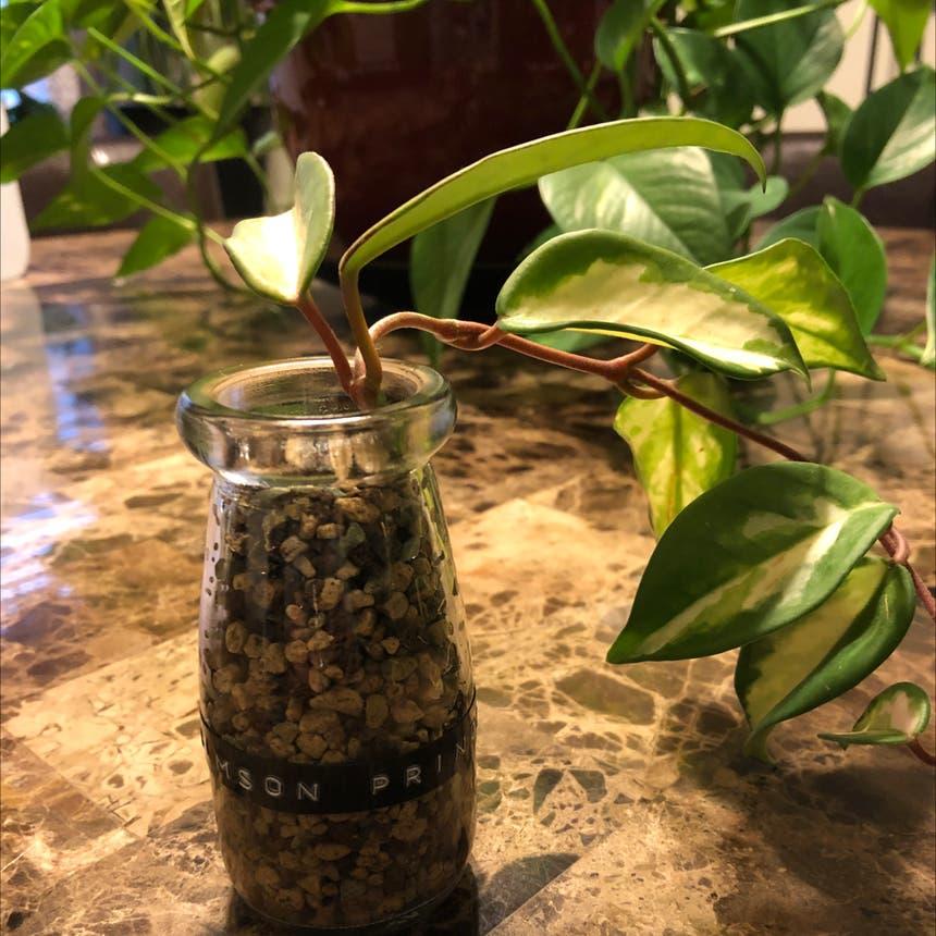 Krimson Princess Hoya plant