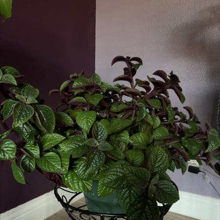 Photo of the plant species Purple Swedish Ivy by Ntheogen named Bellatrix ⚡️ on Greg, the plant care app