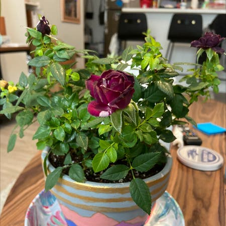 Photo of the plant species Purple Tiger Rose by Ventidepresso named Tyrian on Greg, the plant care app