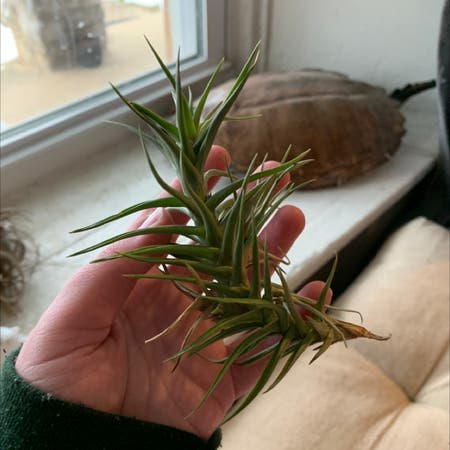 Photo of the plant species Tillandsia ionantha 'Vanhyningii' by Jello named Madonna on Greg, the plant care app