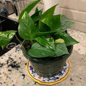 Pothos 'Jade' plant photo by Cs named Kumiko on Greg, the plant care app.