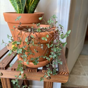 Rating of the plant Silver Sparkle Pilea named wimpy bicth by Christian on Greg, the plant care app