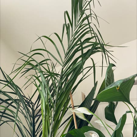 Photo of the plant species Queen palm by Thegoddesssimone named Queen Palm on Greg, the plant care app