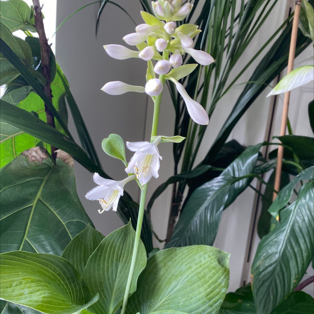 Photo of the plant species Hosta 'Elegans' by Thegoddesssimone named Pernnial on Greg, the plant care app
