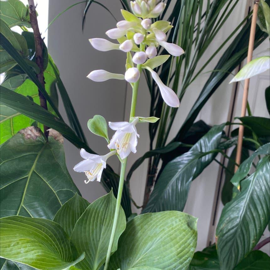 Hosta 'Elegans' plant in Somewhere on Earth