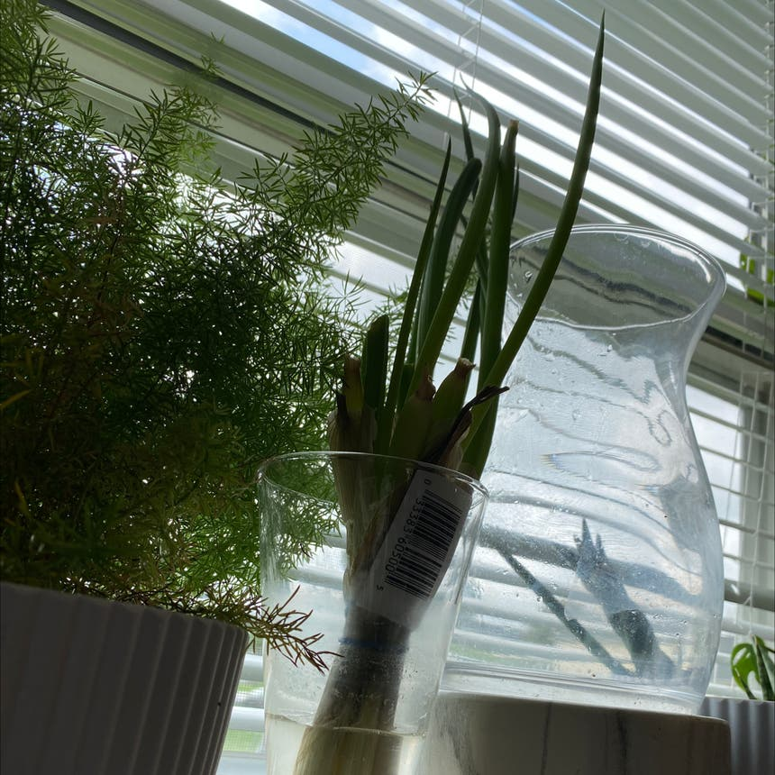 Long Green Onion plant in Somewhere on Earth
