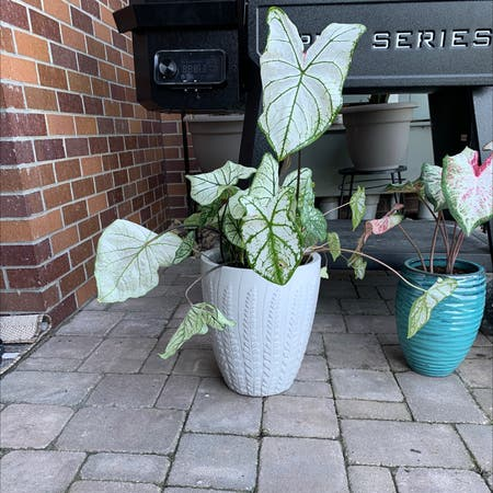 Photo of the plant species Caladium White Wonder by Joseph named Trillian on Greg, the plant care app