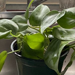 Heartleaf philodendron plant photo by Mgrits65 named Queen on Greg, the plant care app.
