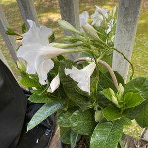 Brazilian jasmine plant photo by Mgrits65 named Drake on Greg, the plant care app.