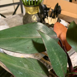 Blushing Philodendron plant in Saint Leonard, Maryland