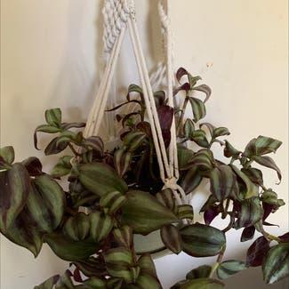 Zebrina plant in Saint Leonard, Maryland
