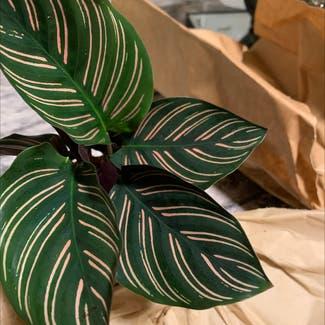 Pinstripe Plant plant in Saint Leonard, Maryland