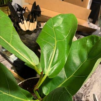 Fiddle Leaf Fig plant in Saint Leonard, Maryland