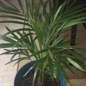 Rating of the plant Majesty Palm named Your plant by Pinkluva on Greg, the plant care app