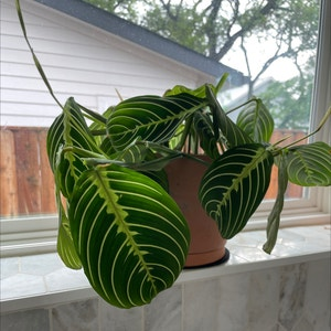 Rating of the plant Green Prayer Plant named Lime by Sharon on Greg, the plant care app